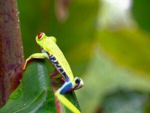 Rana Ojos Rojos, Costa Rica