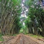 Bosque de bambu en Uvita