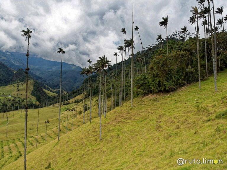 Palmas de cera del Valle del Cocora