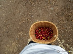 Granos de cafe recolectados en la finca Ocaso